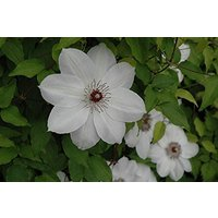 3 Root Clematis, Henryi,(Bare Root/rhizome),-flowered Vine,Now Shipping !