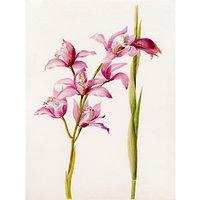 Royal Horticultural Society, Lillian Snelling - Cymbidium Alexanderi gx