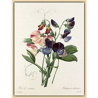Royal Horticultural Society, Pierre Joseph Celestin Redout - Plate 113