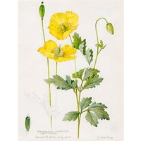 Royal Horticultural Society, Lillian Snelling - Meconopsis cambrica (Welsh Poppy)