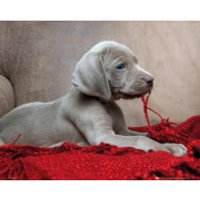 Puppy Red Blanket - Mini Poster - 40 x 50cm
