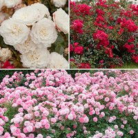 Groundcover Roses - Classic Collection 3 x 9cm 384749