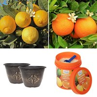 Pair of 1M Citrus Trees (orange and lemon) with Citrus Feed and Planters 404978