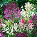 Spinnenpflanzensamen Colour Fountain-Mischung