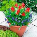 Pflanz-Tray Tulpen und Traubenhyazinthen