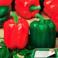 Saatplatte 11,5 x 17 Zentimeter Gemüsepaprika Bendigo F1