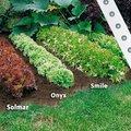 Saatband-Sortiment Blattlausfreie Pflücksalate