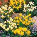 Blumenzwiebel-Sortiment Miniatur-Narzissen
