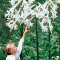 Riesen-Lilie
