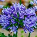 Schmucklilie, Afrikanische Lilie, blau