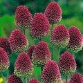 Purpurroter Gartenlauch