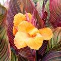 Riesen-Canna Andaloucia (Indisches Blumenrohr)