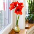 Amaryllis Wax, Touch of Magic Gold