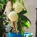 Weißer Pfirsich Fruit Me® Icepeach®