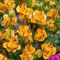 Asiatische Lilie Apricot Fudge