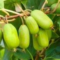 Kiwi Berry® Super Jumbo®