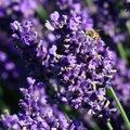 Englischer Lavendel Elizabeth