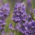 Englischer Lavendel Cedar Blue