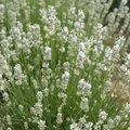 Englischer Lavendel Nana Alba