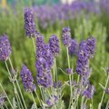 Englischer Lavendel Richard Gray