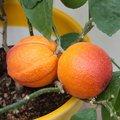Rote Orange Tarocco Gallo