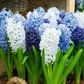 Gartenhyazinthen Blau-Weiße-Mischung