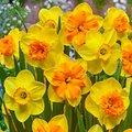 Narzissen Trio-Mischung in Gelb & Orange