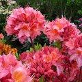 Garten-Azalee Pink Delight