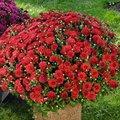 Rote Winteraster