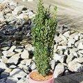 Falscher Säulen-Buchsbaum