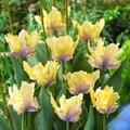 Tulpe Creme Lizard