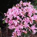 Japanische Azalee Pink Spider®
