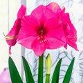 Amaryllis Pink Surprise