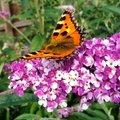 Schmetterlingsflieder Berries and Cream®