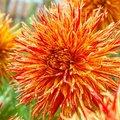 Kaktusdahlie Firecracker