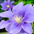 Clematis Olympia