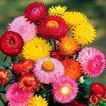 Gefüllte Strohblumensamen-Mischung