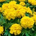 Tagetessamen Zenith Lemon Yellow F1