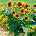Sonnenblumensamen Solar Flash F1