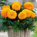 Tagetessamen Taishan Orange F1