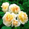 Beetrose Lady Romantica®, XL-Qualität