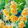 Schmetterlingsflieder Sungold