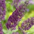 Schmetterlingsflieder, violett