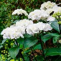 Zauberstab-Hortensie Black Steel® White Ball