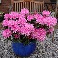 Zwerg-Rhododendron Graziella