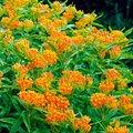 Orange Seidenpflanze