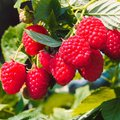 Obst-Sortiment Himbeer-Marathon