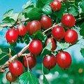 Stachelbeere Spinefree, Hochstamm
