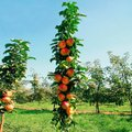 Säulen-Apfel Sonate®