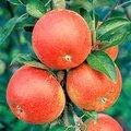 Pötschkes Apfel Cox Orange